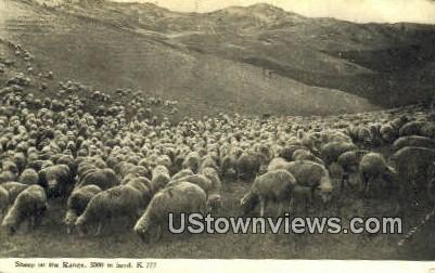Sheep - Misc, Montana MT Postcard