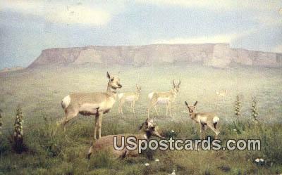 American Antelope - Misc, Montana MT Postcard