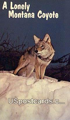 Lonely Montana Coyote - Misc Postcard