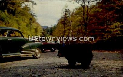 Black Bear, Great Mountains National Park - Asheville, North Carolina NC Postcard