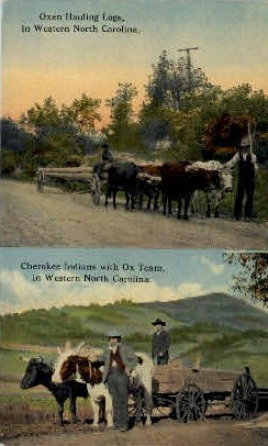 Oxen Hauling Logs - Misc, North Carolina NC Postcard
