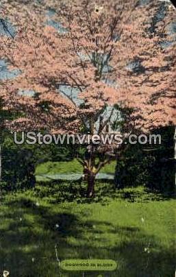 Dogwood in Bloom - Misc, North Carolina NC Postcard
