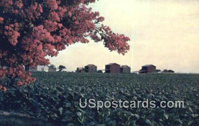 Bright Leaf Tobacco - Misc, North Carolina NC Postcard