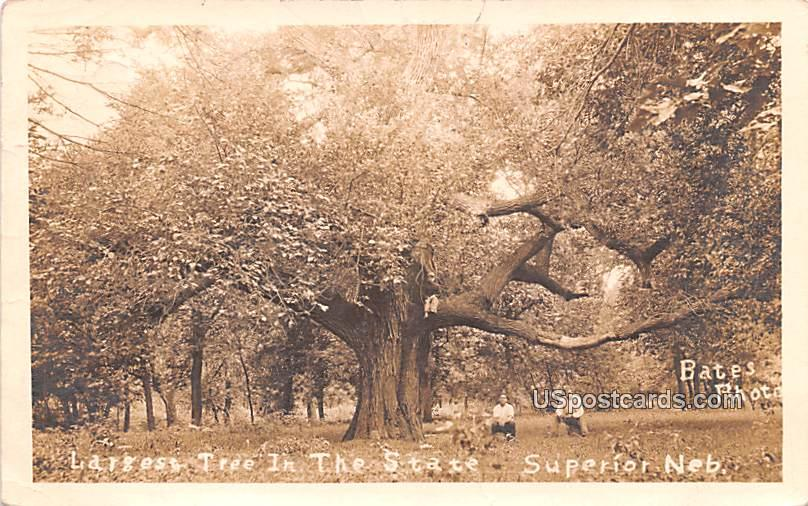Largest Tree in the State - Superior, Nebraska NE Postcard