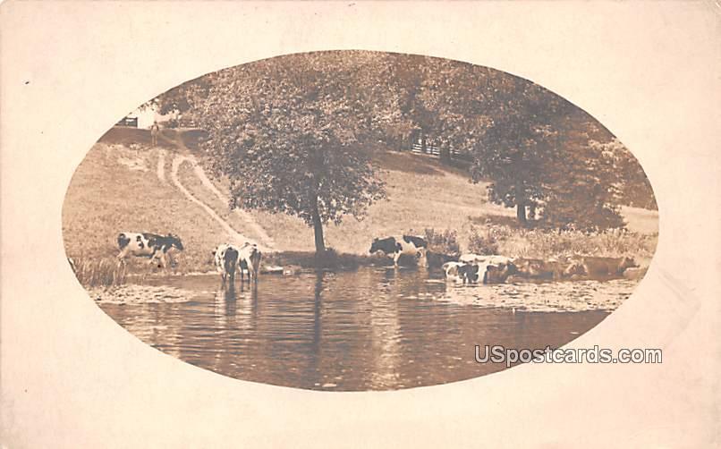 Cows in Water - Bridgeton, New Jersey NJ Postcard