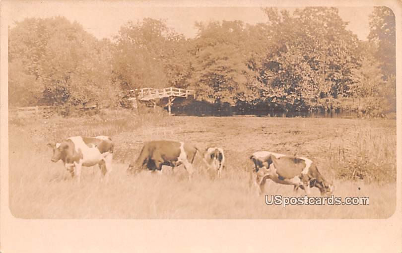 Cows Grazing - Bridgeton, New Jersey NJ Postcard