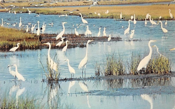 White Herons on the Marshes of the Jersey Cape Misc, New Jersey Postcard