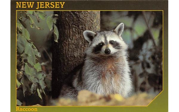 Raccoon Misc, New Jersey Postcard
