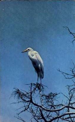 White Heron - Cape May, New Jersey NJ Postcard