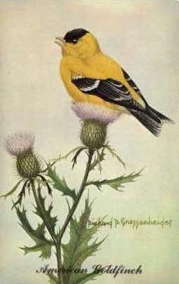 American Goldfinch - Misc, New Jersey NJ Postcard