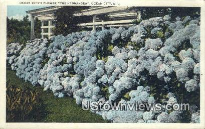 Hydrangea, City's Flower - Ocean City, New Jersey NJ Postcard