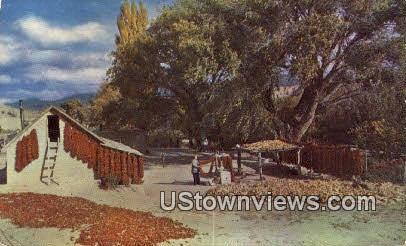 Chili Harvest - Albuquerque, New Mexico NM Postcard