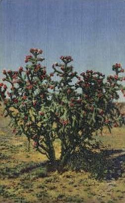 Cholla Cactus - Misc, New Mexico NM Postcard