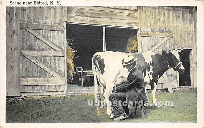 Milking Cow - Eldred, New York NY Postcard