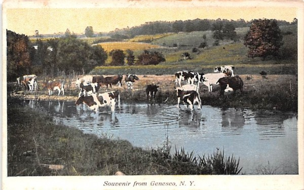 Cows Drinking Water Geneseo, New York Postcard