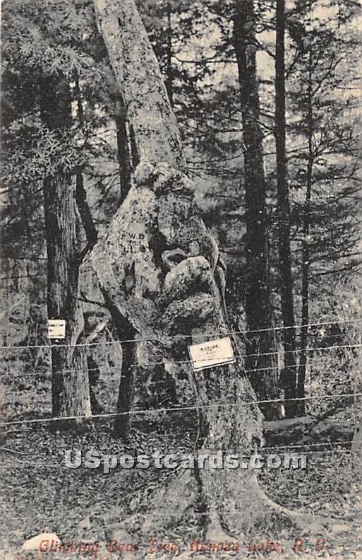 Bear Tree - Kenoza Lake, New York NY Postcard