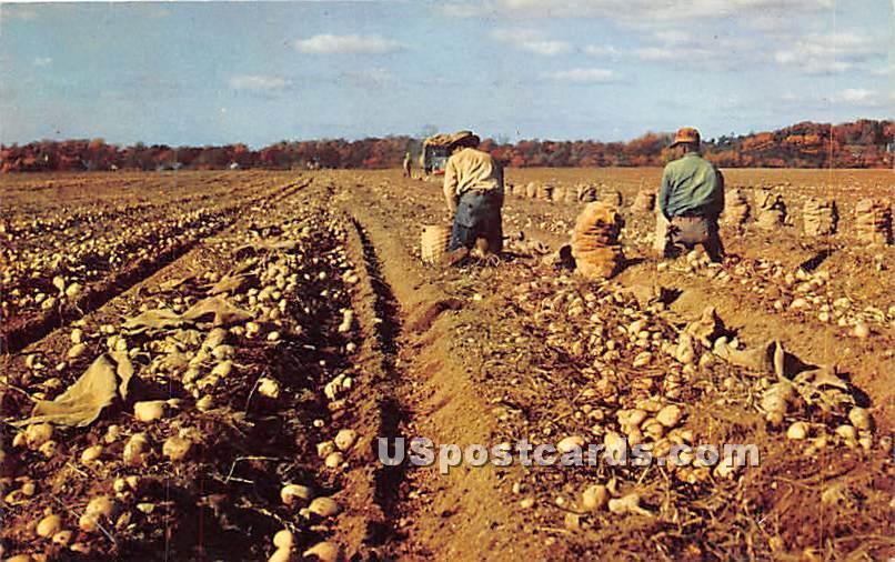 Harvesting Long Island Potatoes - New York NY Postcard