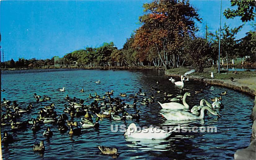 Swans & Ducks - Long Island, New York NY Postcard