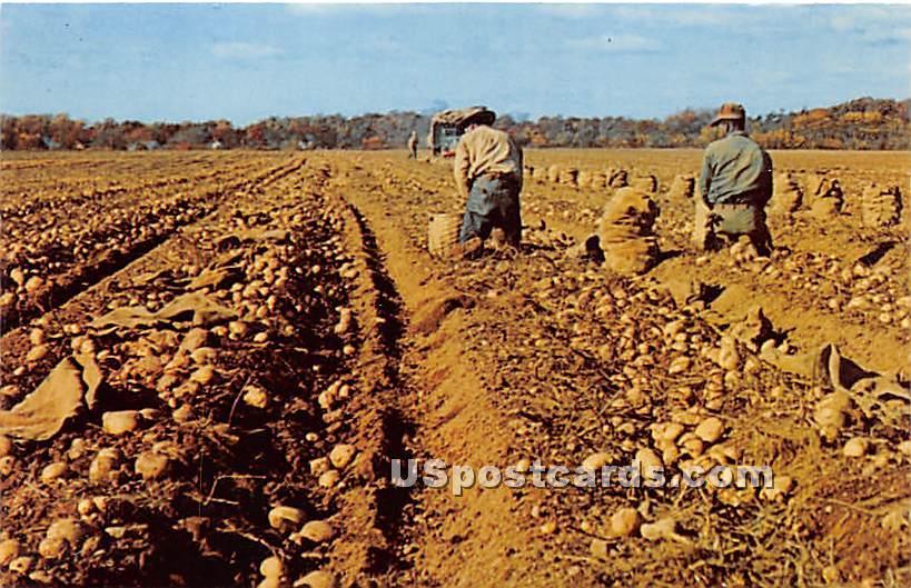Harvesting Potatoes - Long Island, New York NY Postcard