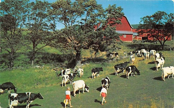 Bringing in the Cows Millbrook, New York Postcard