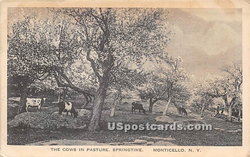 Cows in Pasture - Monticello, New York NY Postcard