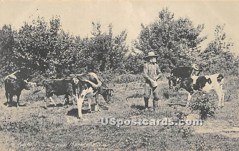 Salting Cattle - Monticello, New York NY Postcard