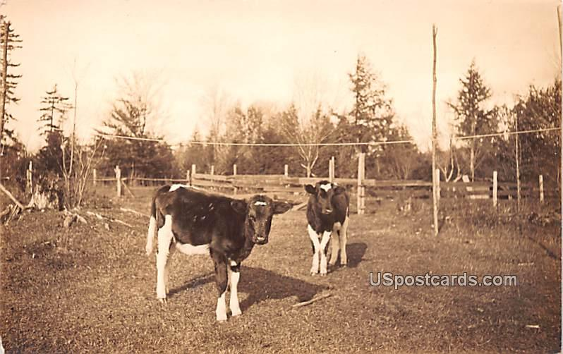 Cattle - Misc, New York NY Postcard