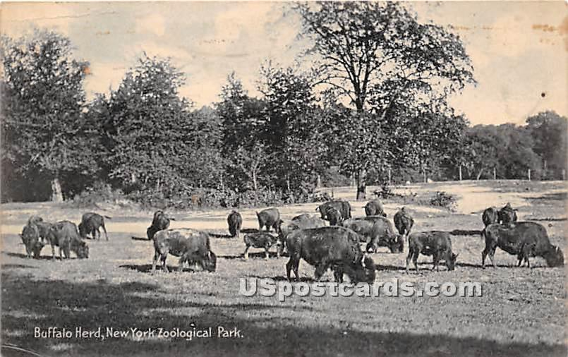 Buffalo Herd, New York Zoological Park - New York City Postcards Postcard