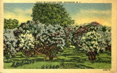 Lilacs in Highlands Park - Rochester, New York NY Postcard