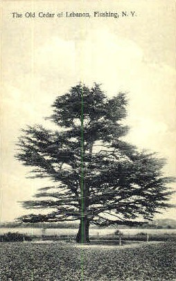 The Old Cedar of Leganon - Flushing, New York NY Postcard