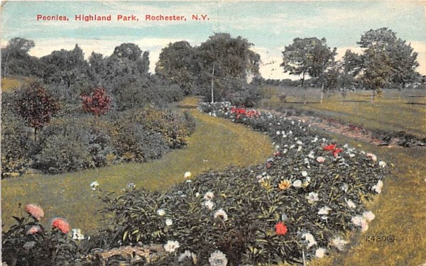 Peonies Rochester, New York Postcard