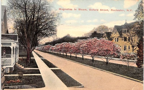 Magnolias in Bloom Rochester, New York Postcard
