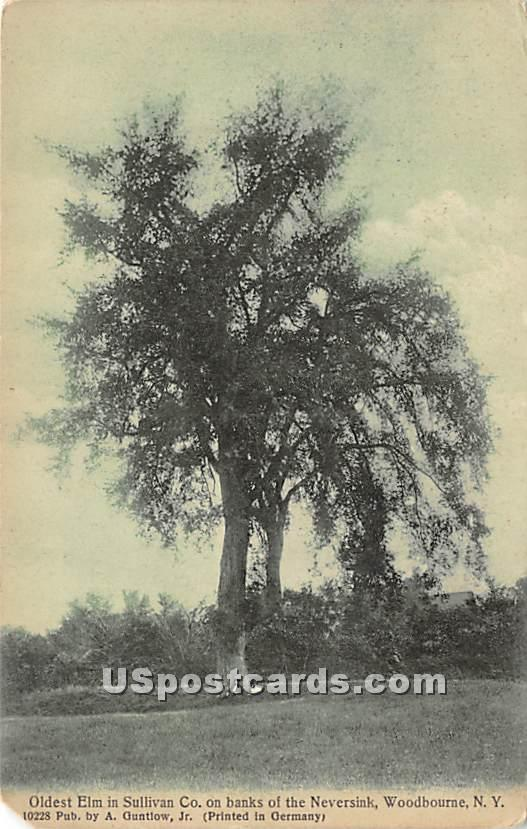 Oldest Elm in Sullivan County - Woodbourne, New York NY Postcard