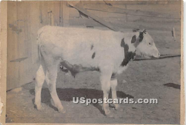 Cow - Wurtsboro, New York NY Postcard
