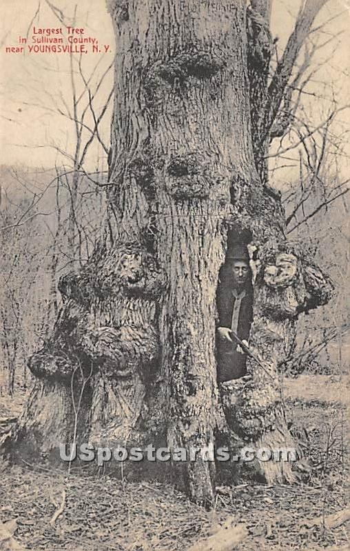 Largest Tree in Sullivan County - Youngsville, New York NY Postcard