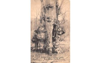 Largest Tree in Sullivan County Youngsville, New York Postcard