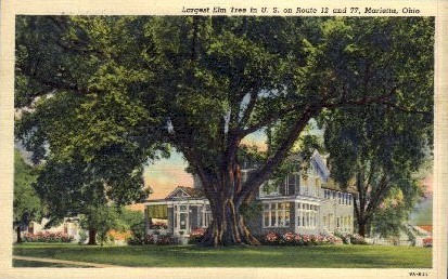 Largest Elm Tree in U. S. - Marietta, Ohio OH Postcard