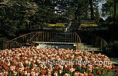Tulips, Kingwood Center - Mansfield, Ohio OH Postcard