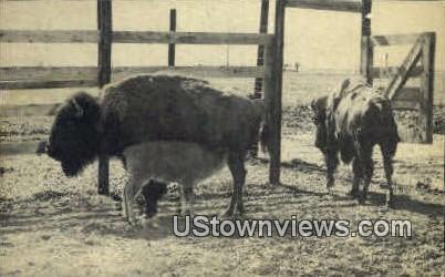 Buffalo Ranch - Afton, Oklahoma OK Postcard