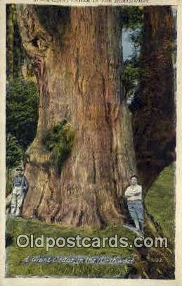 Giant Cedar - Misc, Oregon OR Postcard