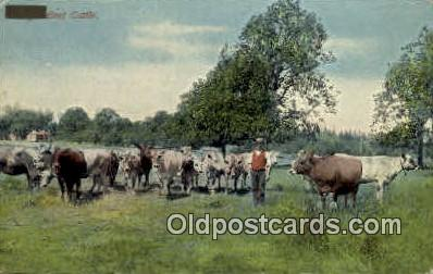 Beef Cattle - Misc, Oregon OR Postcard