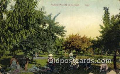 Picking Prunes - Misc, Oregon OR Postcard