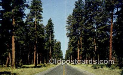 Ponderosa Pine - Misc, Oregon OR Postcard
