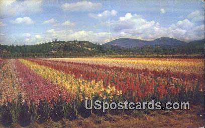 Gladiola Fields - Grants Pass, Oregon OR Postcard