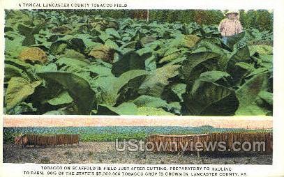 Tobacco Field - Lancaster, Pennsylvania PA Postcard