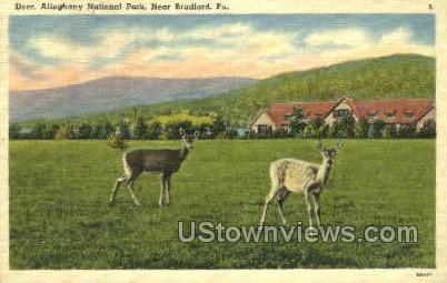 Deer, Alleghany National Park - Bradford, Pennsylvania PA Postcard