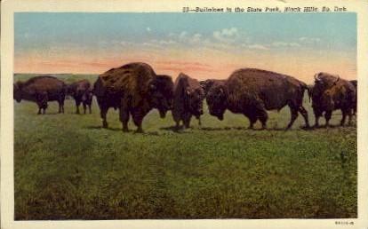 Buffaloes in the State Park - Black Hills, South Dakota SD Postcard