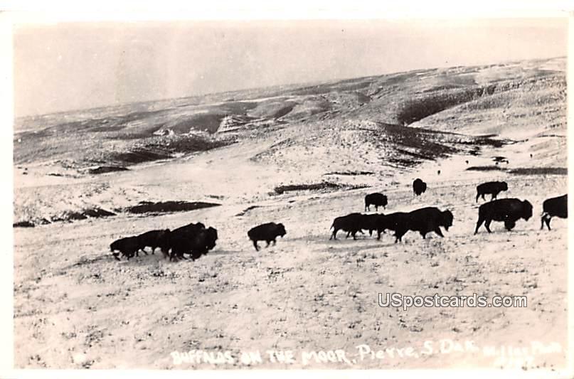 Buffalos on the Moor - Pierre, South Dakota SD Postcard