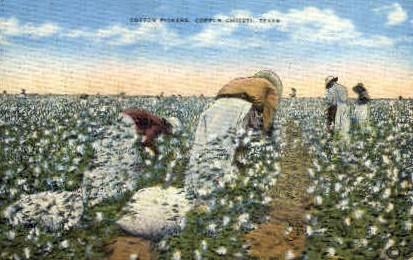 Cotton Pickers  - Corpus Christi, Texas TX Postcard