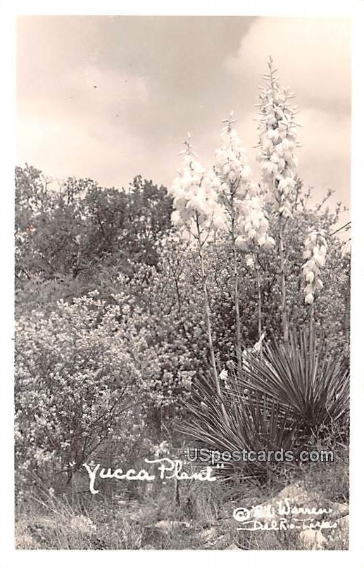 Yucca Plant - Del Rio, Texas TX Postcard